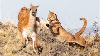 Сильный, бесстрашный и ловкий ГОРНЫЙ ЛЕВ В ДЕЛЕ! ПУМА ПРОТИВ оленей, гуанако, ягуара и даже медведя!