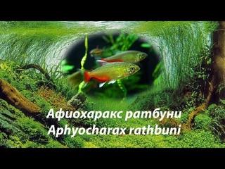 Афиохаракс ратбуни / Aphyocharax rathbuni #афиохаракс#Aphyocharax