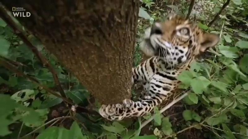 Ягуар добрался до обезьяны