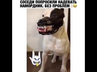 Соседи попросили надевать намордник)) ★★ПИТБУЛИ, СТАФФЫ★★  Бойцовский собака?