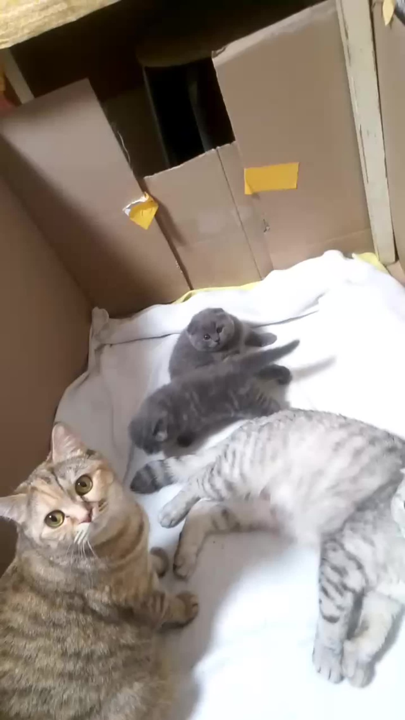 котята играют шотландские вислоухие 4 недели