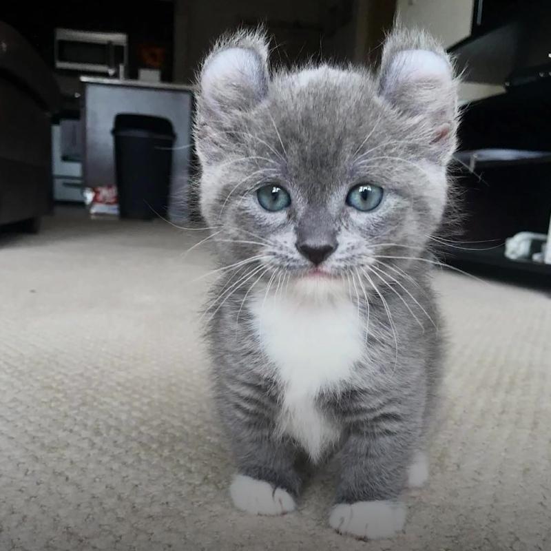 Кошка-мышка породы кинкалоу