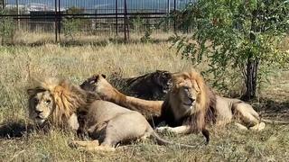 Каждый наш лев может быть СУПЕР ручным и СУПЕР контактным!