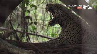 Прибежище ягуаров. Красивый документальный фильм Ultra HD 4K